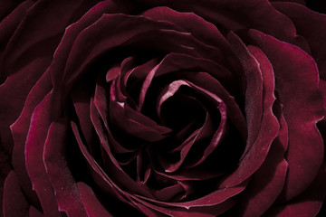 rose, dark red, macro