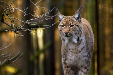 Photo on textile frame Lynx Close-up portrait of an Eurasian Lynx in forest (Lynx lynx)