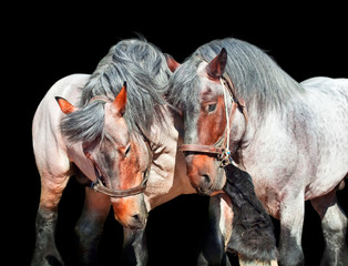 Two fighting brabant stallions. isolated on black