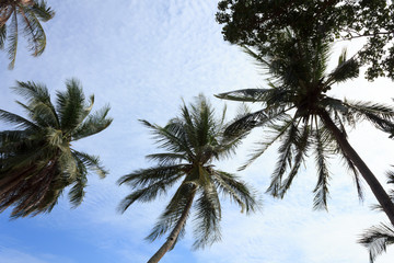 Coconut tree with the blue sky