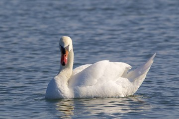 Swan on the water 02