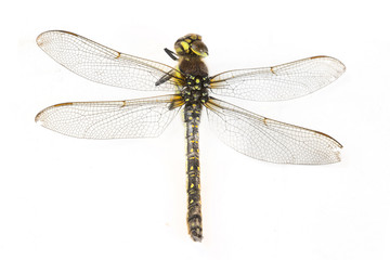 dragonfly macro shot on white background