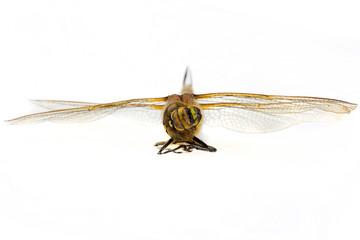 dragonfly macro shot on white background