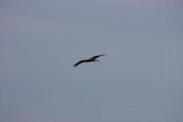 Fotoväggar - Adler im Flug