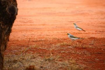 Fotoväggar - zwei graue Vögel auf roter Erde