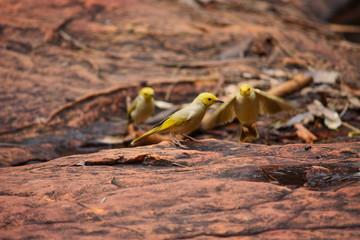 kleine gelbe Vögel auf roter Erde