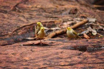 Fotoväggar - kleine gelbe Vögel in Australien