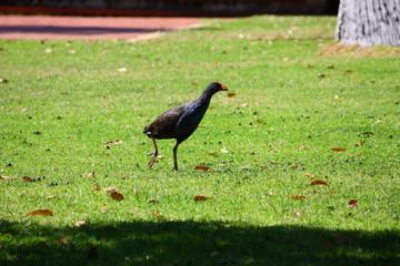 Fotoväggar - schwarzer Vogel mit rotem Schnabel