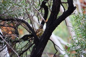Fotoväggar - brauner australischer Vogel