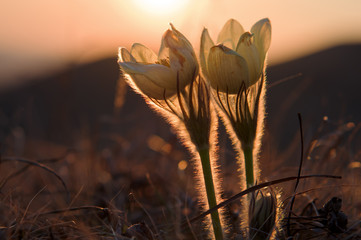two flowers at sunset