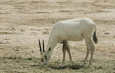 Antelope Oryx in Israeli nature reserve near Eilat