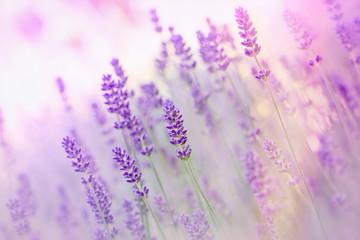 Obraz Beautiful lavender - fototapety do salonu