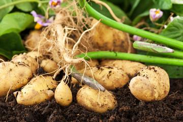 Kartoffeln im Acker