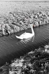 Mute Swan in a cold dutch ditch