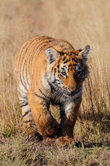 Wall Mural - Young tiger on the move