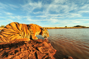 Wall Mural - Shot of a young tiger having a drink