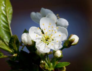 Flowers apple closeup