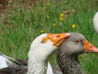 Frieda und Fränkie Duck