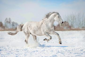 Grey horse running in winter