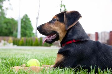 Fototapeta pies na łące - śliczny szczeniak owczarek