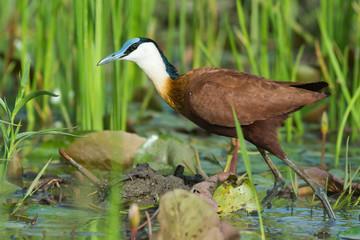 An African Jacana (Actophilornis africanus) wading through reeds