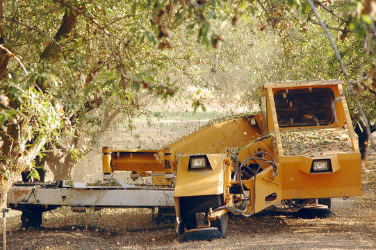 Almond at the harvest time. California, USA