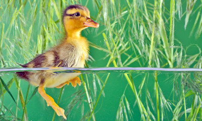 seven days old duckling swimming