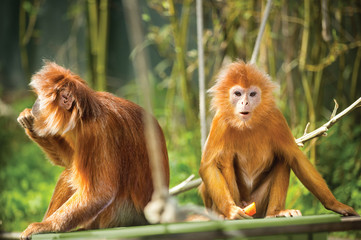 ebony langurs, orange monkeys