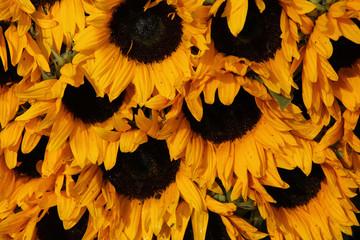 Big group of sunflowers