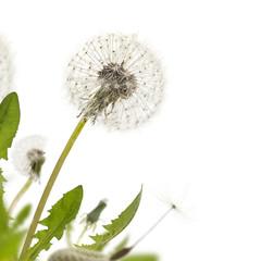 Dandelion White Border