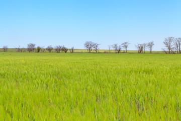 Green wheat field landscape