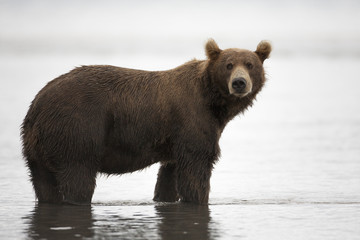 Brown bear is in the water