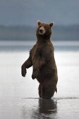 Brown bear rose on his hind legs