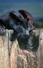 Poster Panther Black leopard