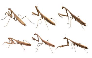 Mantis. on white background