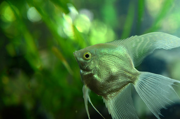 Fresh water Angel fish - Pterophyllum scalare