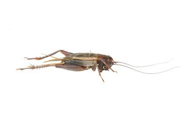 Gryllidae