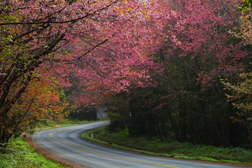 Beautiful cherry blossom road in tropical forest