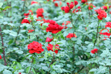 red roses garden nature background