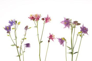 beautiful colorful flowers Aquilegia