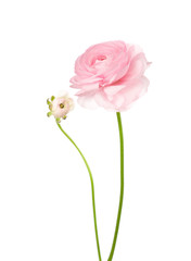 Ranunculus isolated on white.