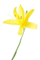Yellow lily flower head isolated on white background