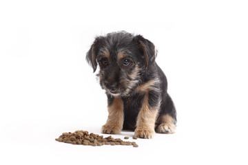 Young Terrier Mix eats dog food