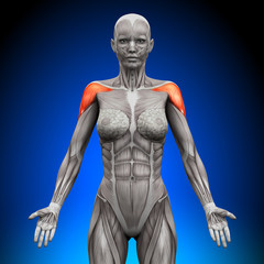 Shoulders  Deltoid - Female Anatomy