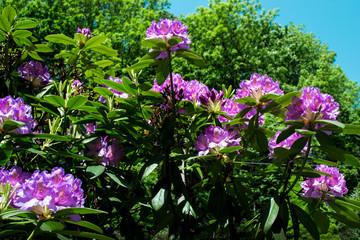 large purple flowers background