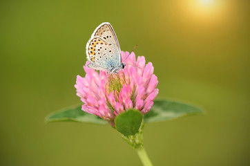 Butterfly is resting on the clover flower