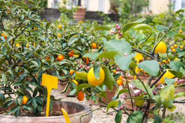 Pots with citrus in a greenhouse
