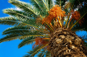 Palm tree with fruits on a background of azure sky