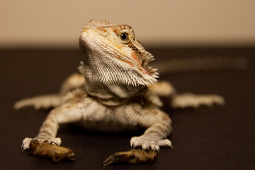 Bearded Dragon.