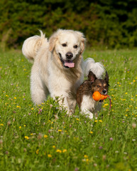 Dogs playing together with ball